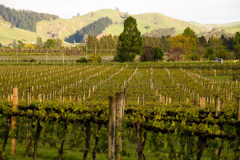 ranek winnica fotografia stock