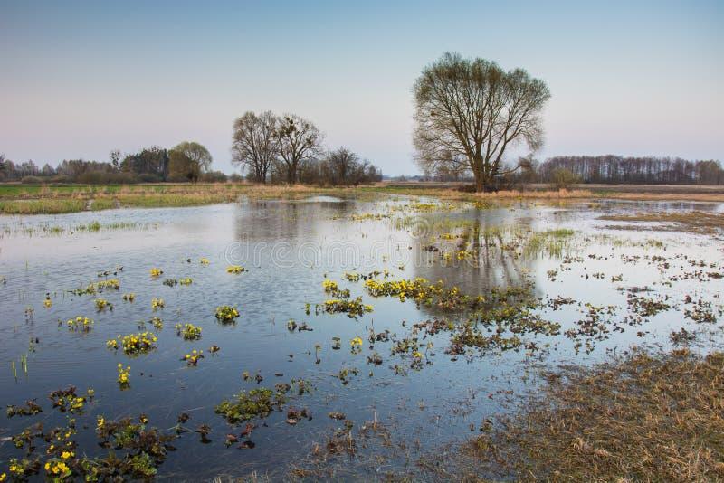 Ranek wiosny widok zalewająca wielka łąka i pojedynczy drzewo obrazy stock
