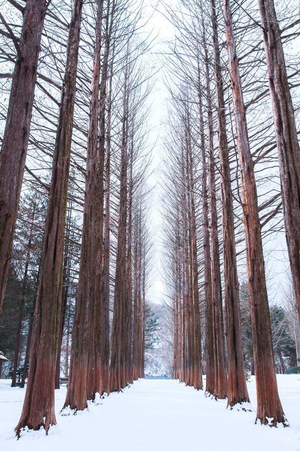 Rangée d'île de Nami des pins en hiver photo stock