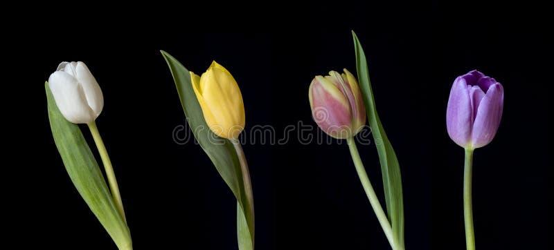 Rangée de cinq tulipes colorées image libre de droits