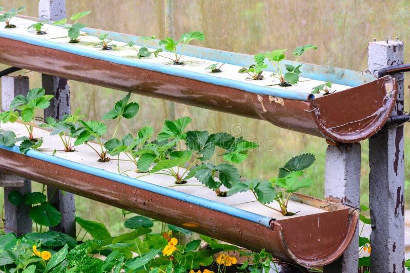 rang e de fraise de culture hydroponique dans la plantation photo stock image du baie jardin. Black Bedroom Furniture Sets. Home Design Ideas