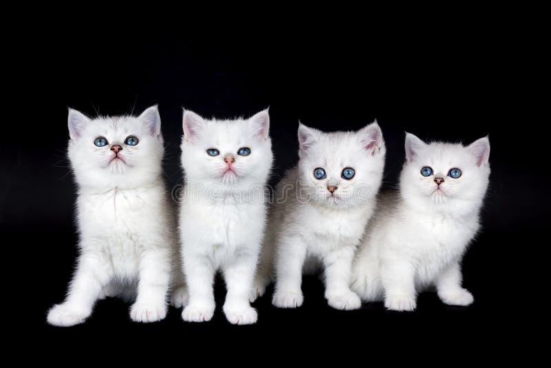 Rangée de quatre chatons blancs sur le fond noir photographie stock libre de droits