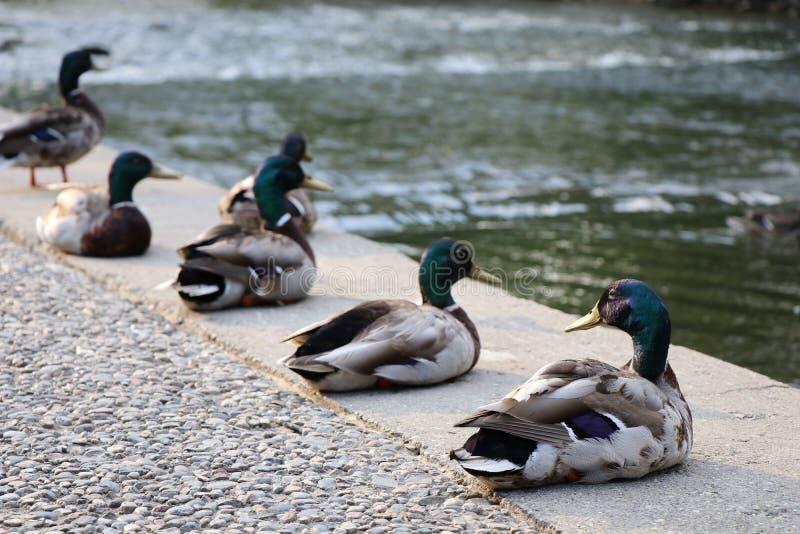 Rangée de sourire des canards photographie stock libre de droits