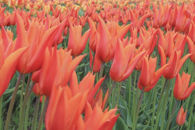 Rangée de tulipe orange de floraison photographie stock