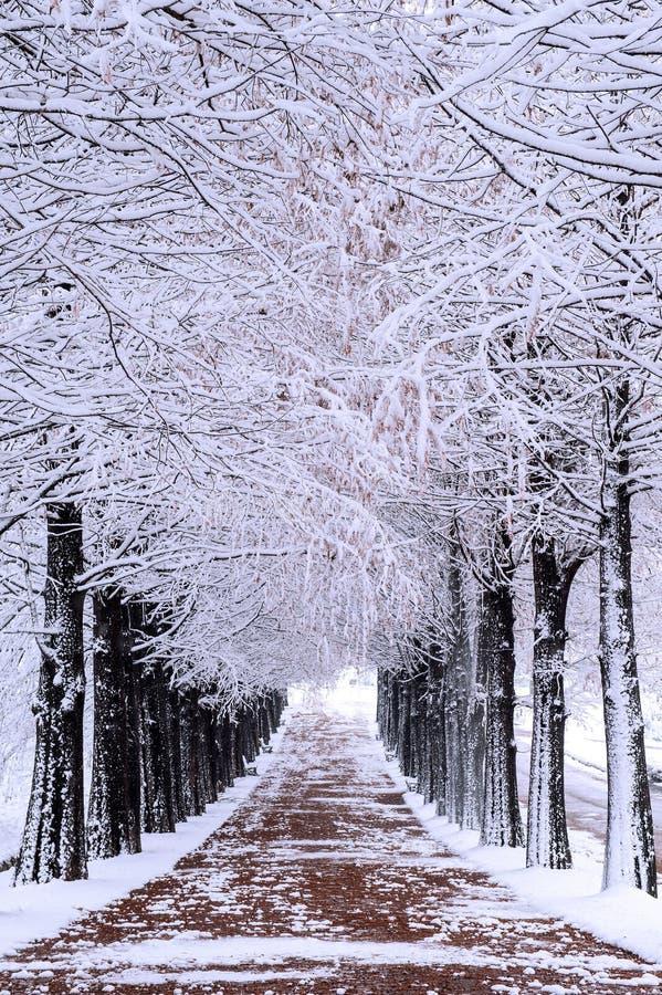 Rangée des arbres en hiver avec la neige en baisse photo libre de droits