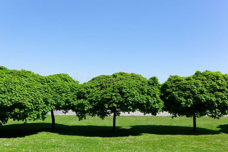 Rangée des arbres vert clair avec les dessus ronds d'arbre sur un pré vert et un ciel ensoleillé bleu lumineux photo stock