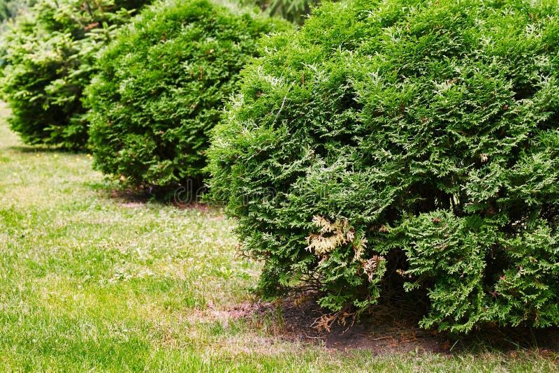 Rangée des buissons ronds de thuja s'élevant dans le plan rapproché de parc image libre de droits