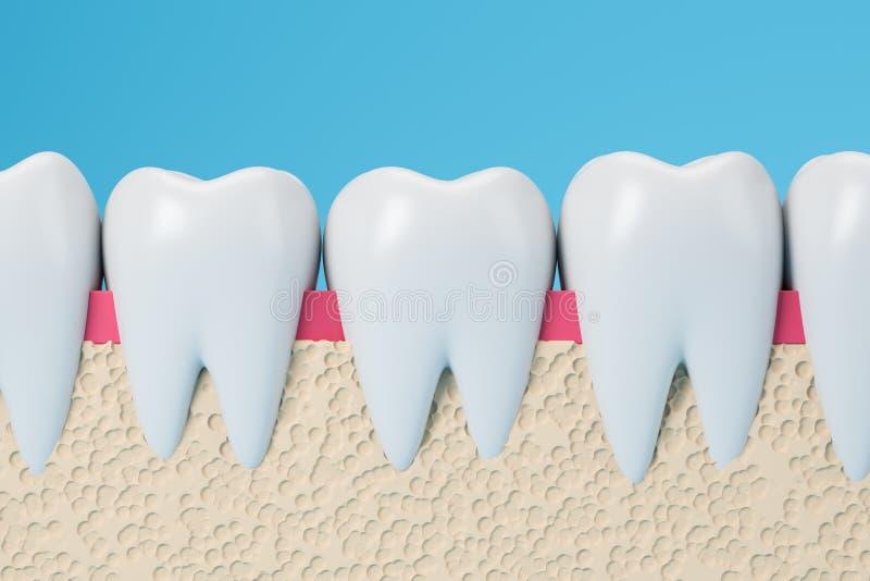 Rangée des dents et des gommes saines illustration stock