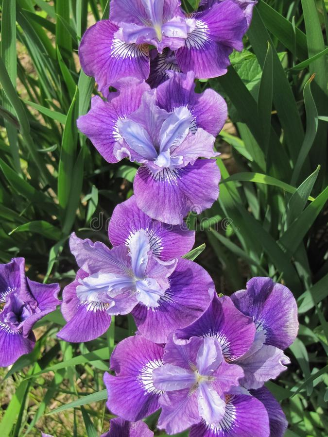 Rangée des iris dans l'arrière-cour photographie stock