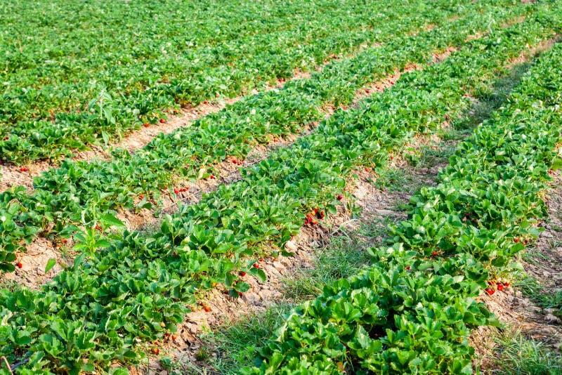 Rangée des plantations de fraise dans l'éclairage de matin photographie stock libre de droits