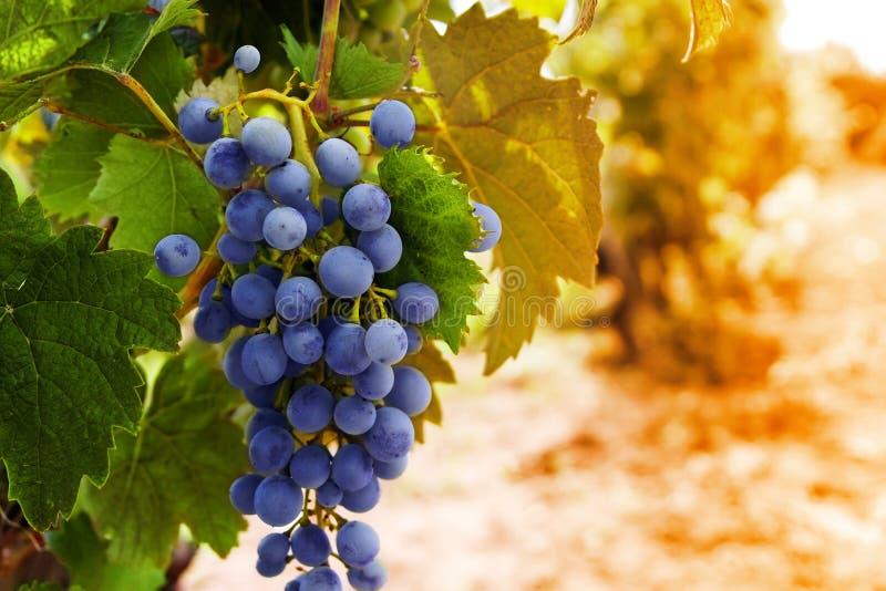 Rangée des raisins avec des feuilles de vigne photo libre de droits
