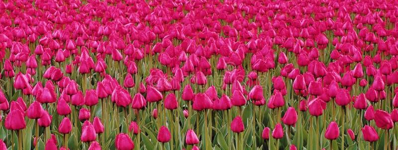 Rangée des tulipes images stock