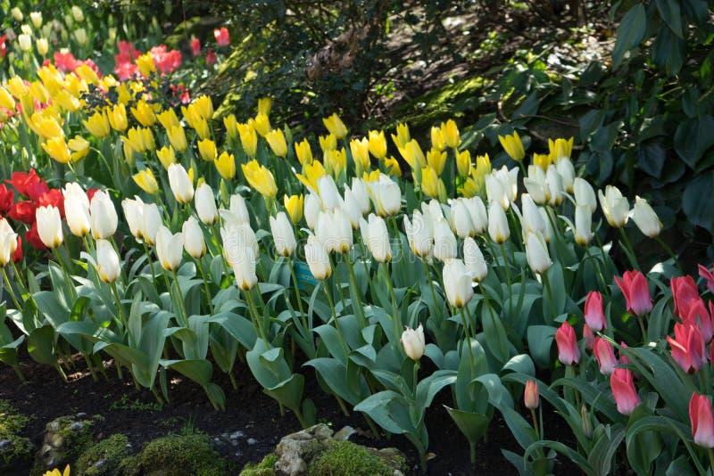 Rangée des tulipes blanches et jaunes à un jardin dans Lisse, Pays-Bas photo libre de droits
