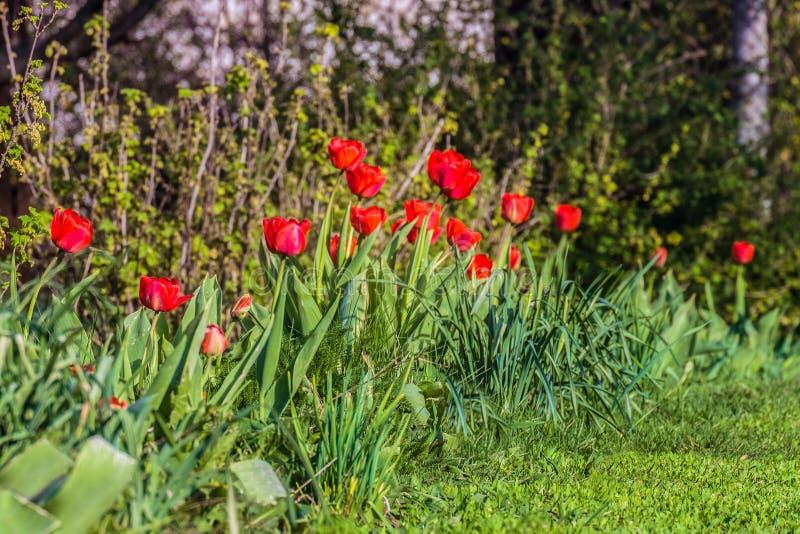 Rangée des tulipes de rouge de jardin Bourgeon floraux de ressort image libre de droits