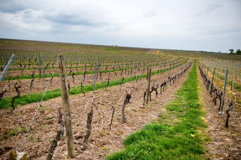 Rangée des vignes trellised dans un vignoble agricole photographie stock libre de droits