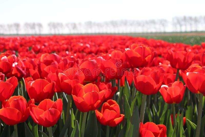 """rangée du type rouge """" de tulipes ; rescue"""" ; au soleil dans les rangées dans une longue Floride photographie stock libre de droits"""