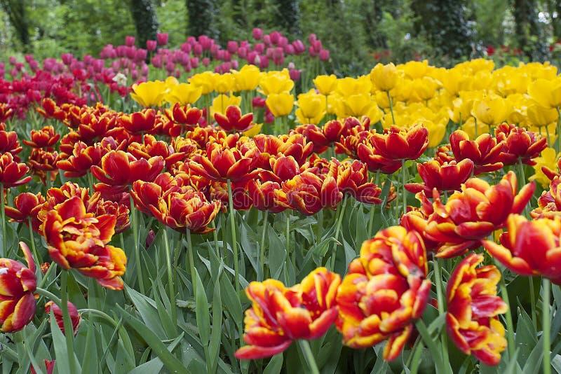 Rangées colorées multi des tulipes sur l'exposition dans un jardin photos stock
