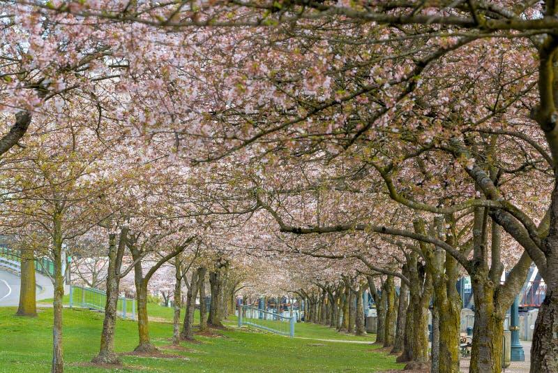 Rangées de Cherry Blossom Trees au printemps photos stock