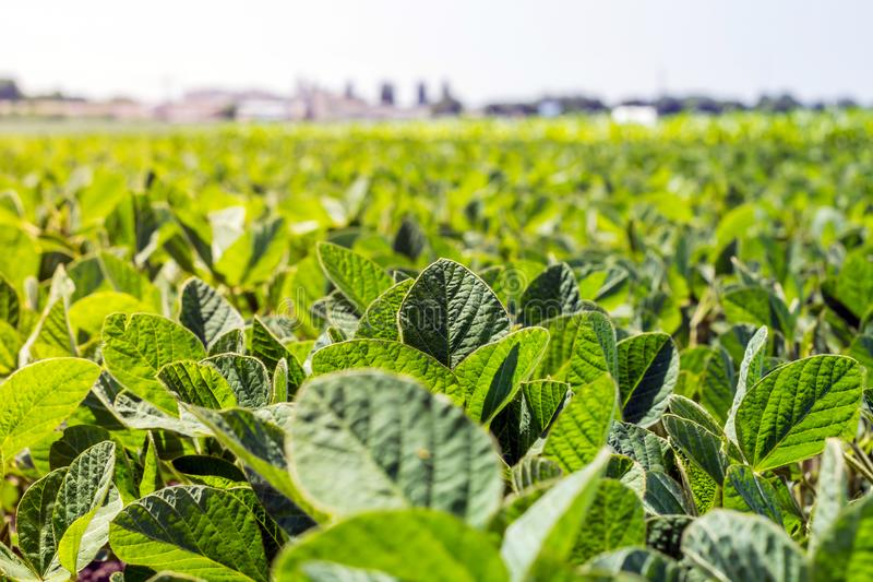 Rangées de jeune, vert soja, des maladies mauvais-gratuites et des insectes contre le ciel photos stock