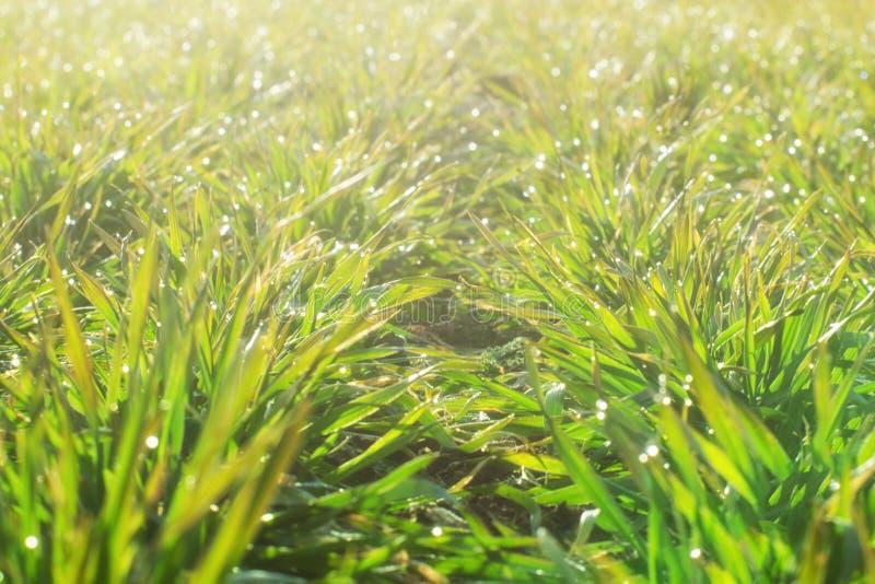Rang?es de jeunes usines de bl? sur un champ moite dans un matin ensoleill? Foto en gros plan image stock