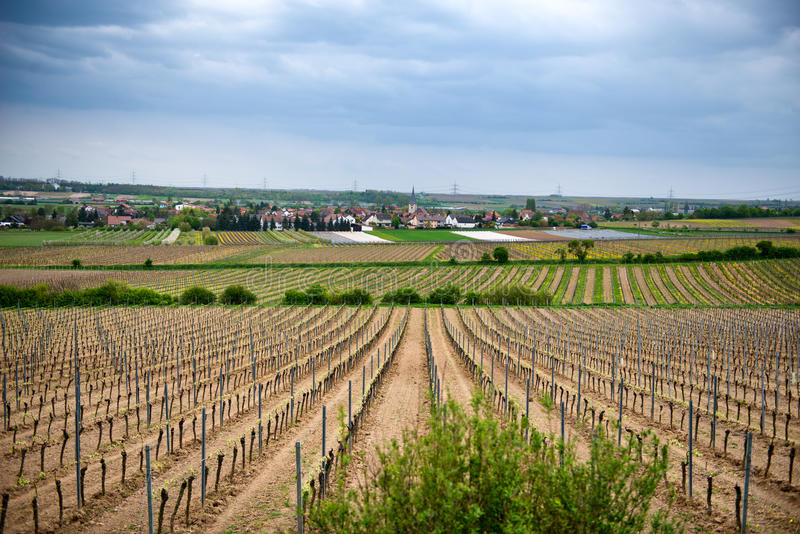 Rangées de jeunes vignes dans des terrains d'établissement vinicole photographie stock