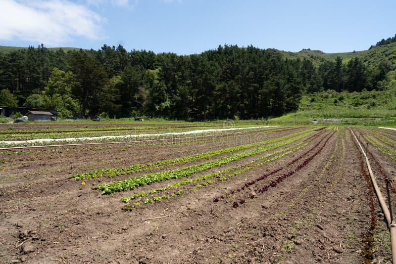 Rangées de l'élevage de cultures pendant l'été tôt de saison photos libres de droits