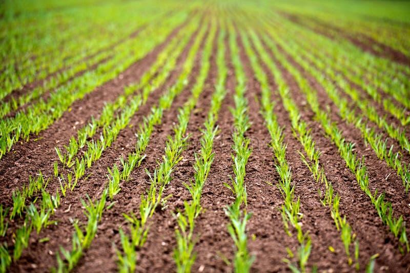 Rangées de maïs photo libre de droits