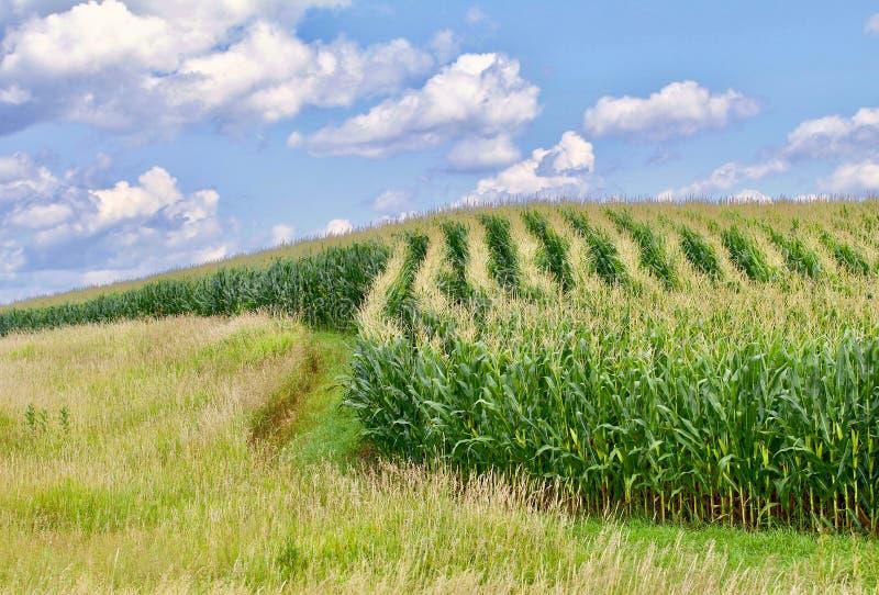 Rangées de maïs image libre de droits