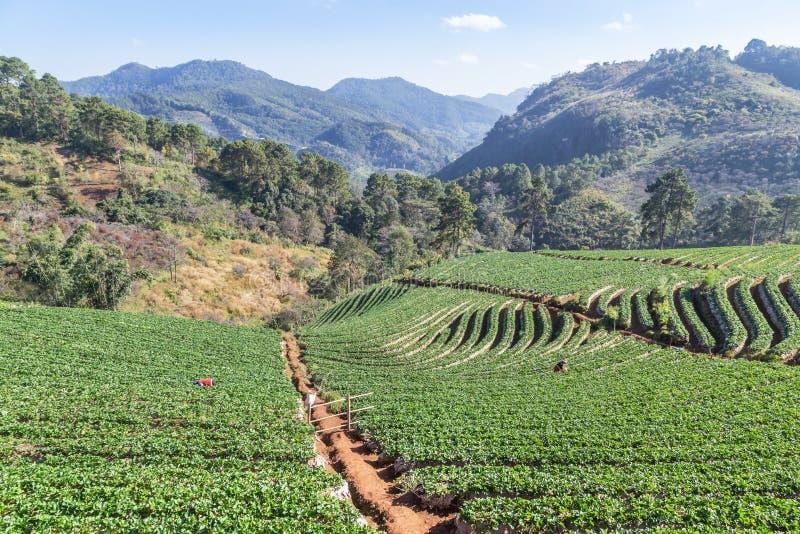 Rangées de plantation en terrasse verte de fraise khang Chiang Mai Thailand d'ANG de Doi d'interdiction ni de Lae à village image libre de droits