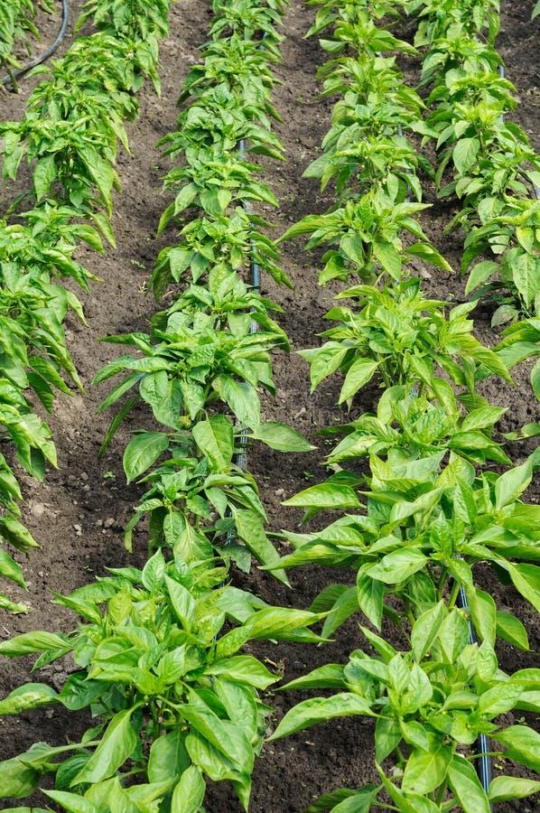 Rangées de poivre dans un jardin photo libre de droits