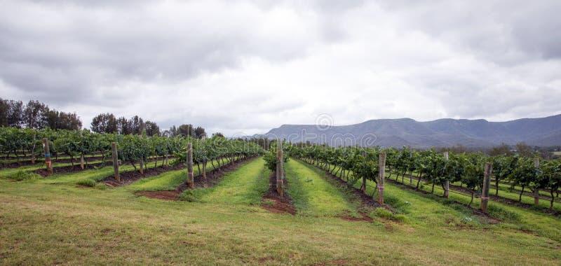 Rangées de vigne dans un vignoble images stock