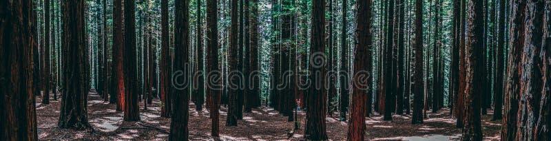 Rangées des arbres au séquoia Forest Warburton dans la vallée de Yarra Melbourne, Australie images libres de droits