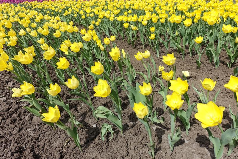Rang?es des fleurs jaunes des tulipes images libres de droits