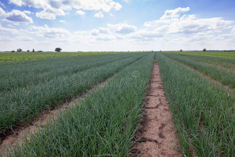 Rangées des oignons, champ d'oignon, plantations d'oignons, paysage agricole photographie stock