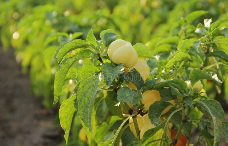 Rangées des poivrons photo libre de droits