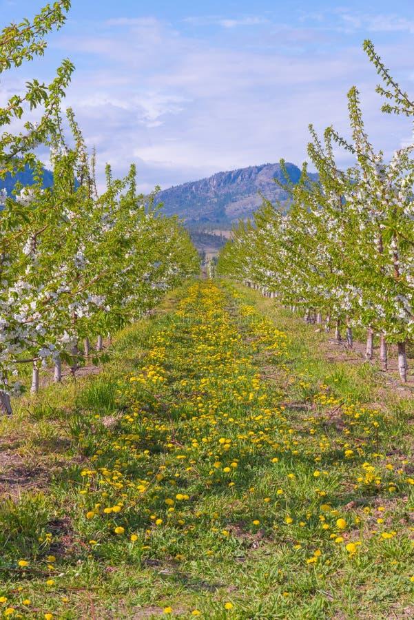 Rangées des pommiers couverts en fleurs blanches de montagne à l'arrière-plan image libre de droits