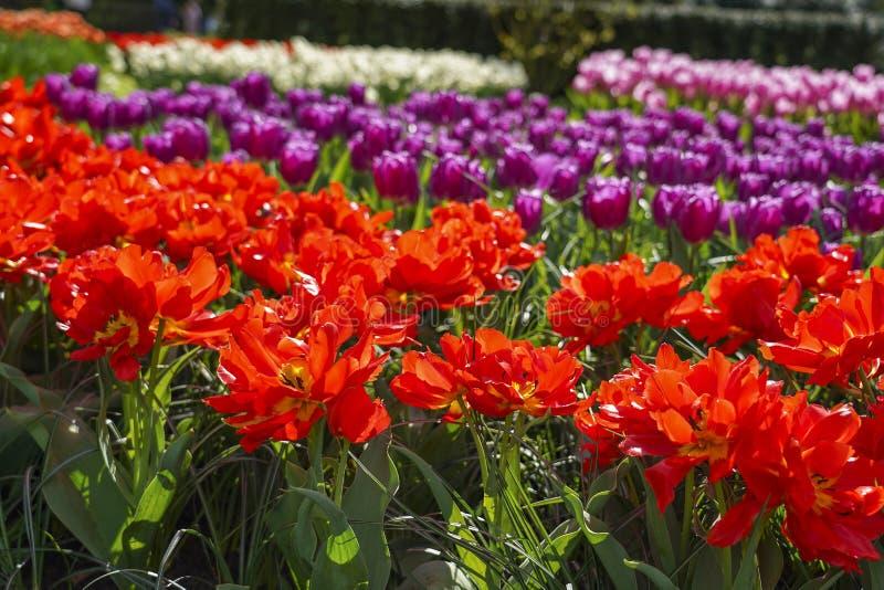 Rangées des tulipes dans des couleurs multiples et dans les belles tulipes rouges de premier plan avec la poinçonneuse jaune et l images stock