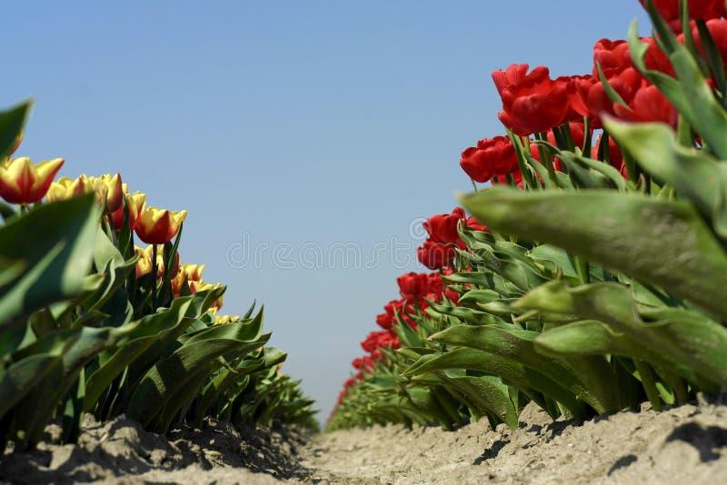 Rangées des tulipes rouges jaunes d'en dans le domaine photo libre de droits
