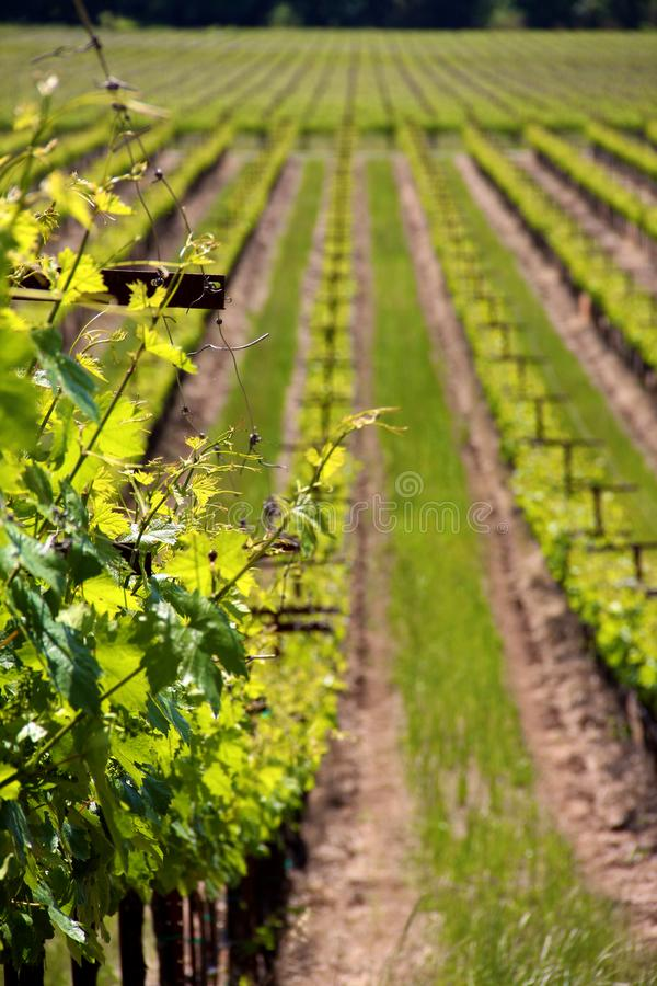 Rangées des vignes à un vignoble dans Sonoma la Californie image stock