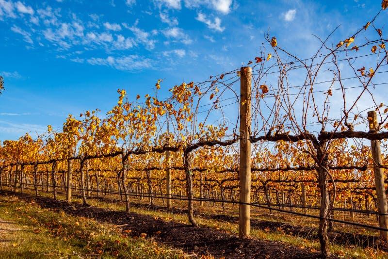Rang?es des vignes dans un ?tablissement vinicole photo stock