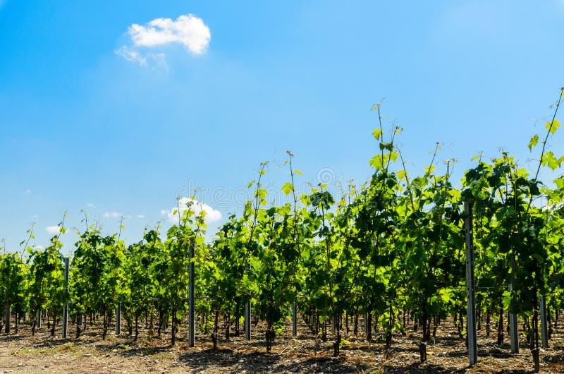 Rangées des vignes s'élevant dans un vignoble près de Saint Emilion, BO image stock