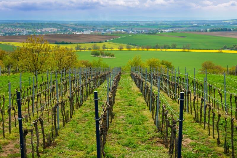 Rangées des vignobles en été, région du sud de Moravian, Tchèque Republ photographie stock