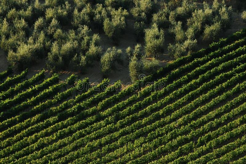 Rangées des vignobles verts avec les oliviers dans la région de chianti pendant la saison d'été tuscany images stock