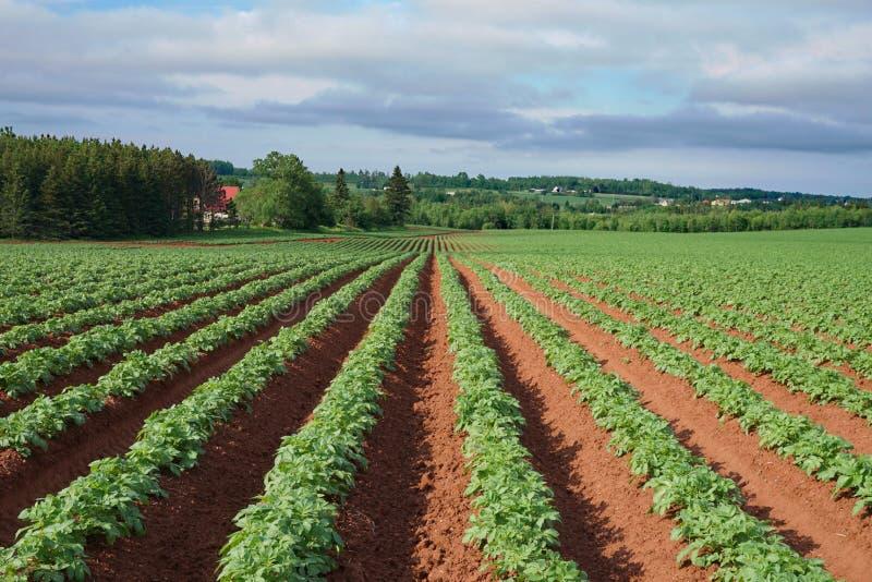 Rangées et rangées des plantes de pomme de terre s'élevant dans le sol rouge sur prince Edward Island, Canada images stock