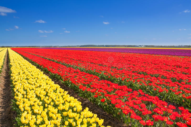 Rangées merveilleuses de champ de tulipe avec l'horizon de ciel photographie stock