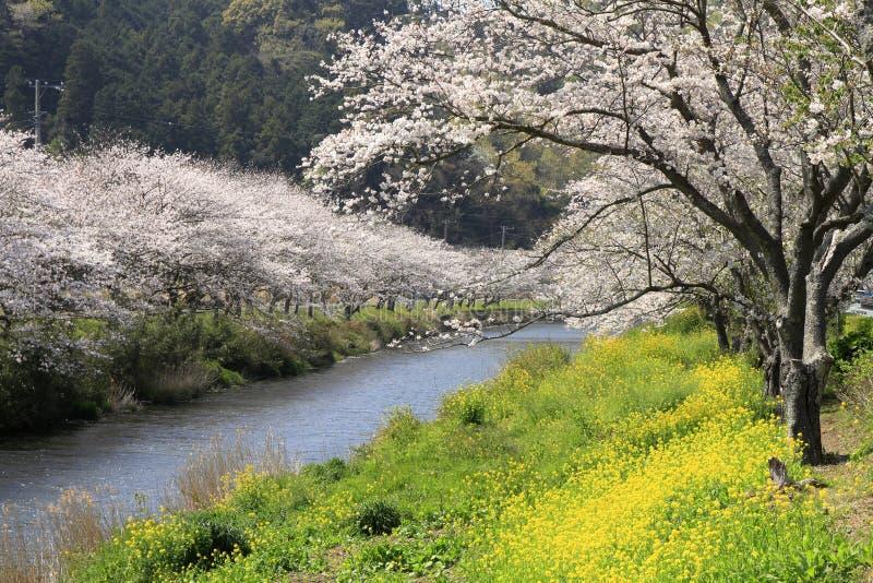 Rang?e des arbres de fleurs de cerisier et champ de graine de colza le long de rive de rivi?re de Naka images libres de droits
