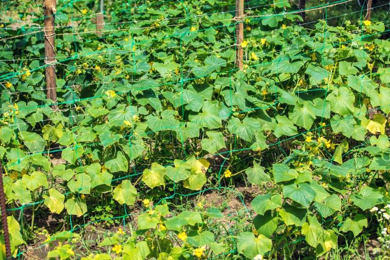 Rang?e des concombres dans le jardin photos stock