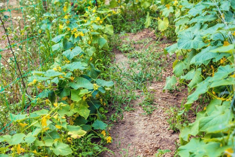 Rang?e des concombres dans le jardin photographie stock libre de droits