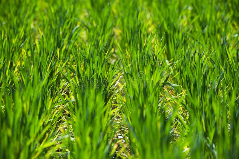 Rang?es avec les pousses vertes de bl? photo libre de droits