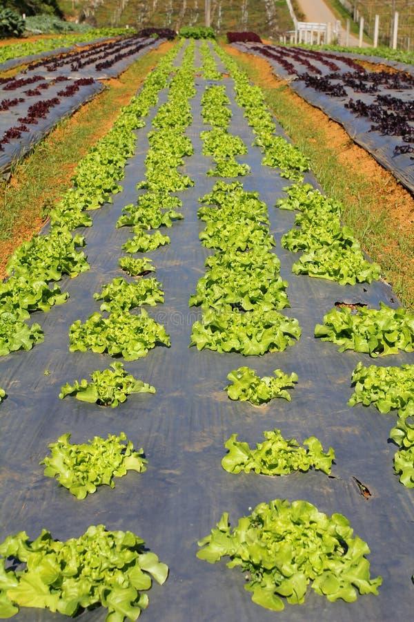 Rang?es de jeunes jeunes plantes v?g?tales Ferme de Luttuce en Thaïlande photos libres de droits